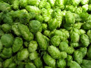cannabis and beer both share the terpene humulene (which is found in hops)