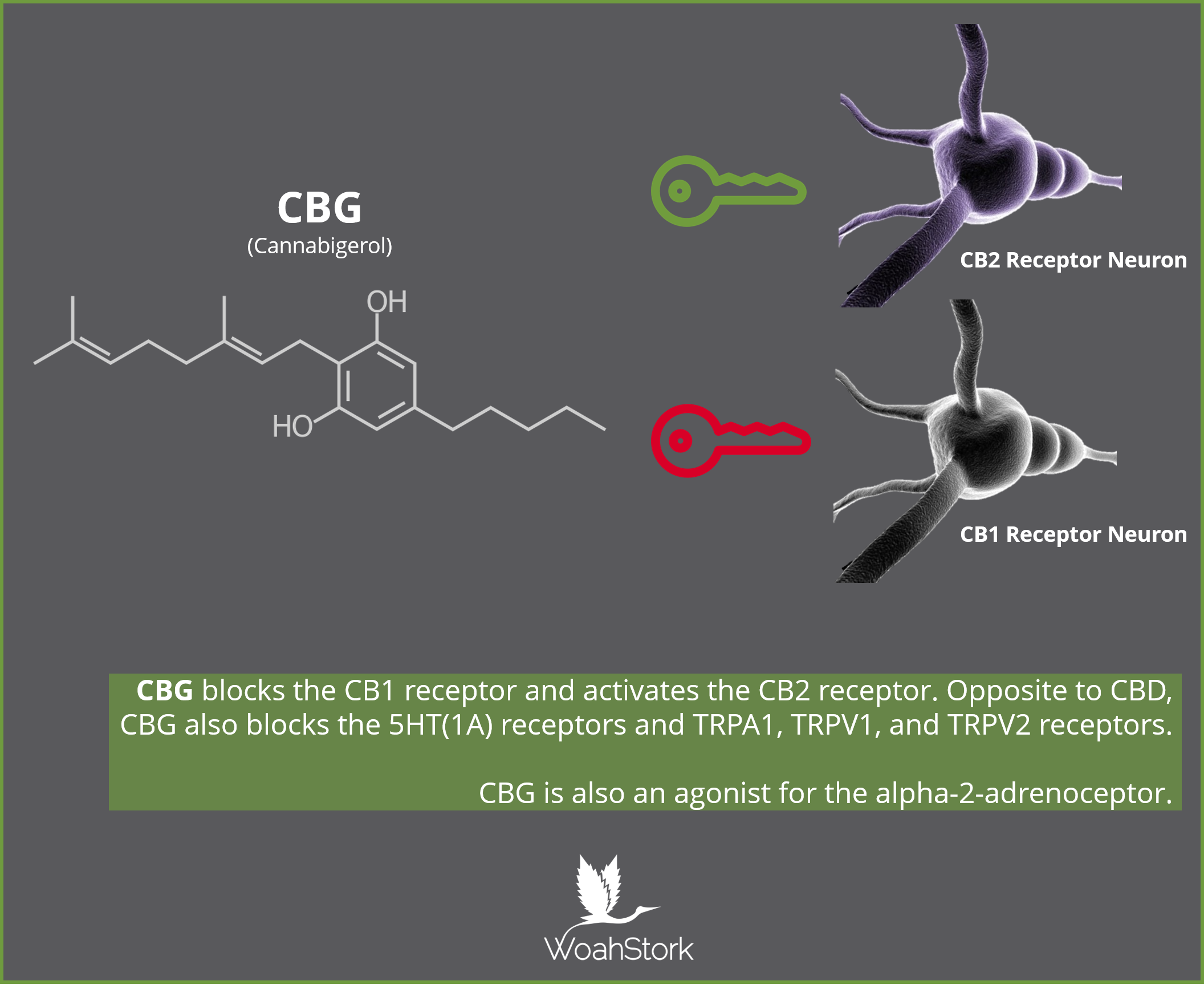 CBG activates CB2 and blocks CB1