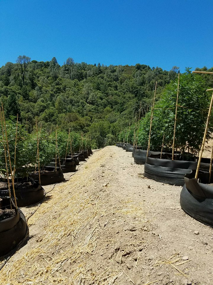 Martyjuana's biodynamic cannabis grow