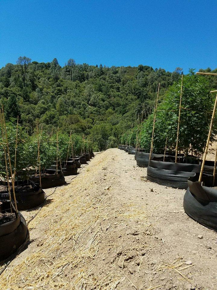 Martyjuana's biodynamic cannabis grow