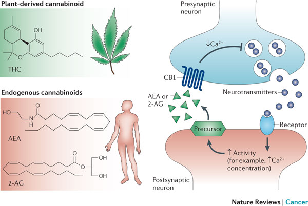 cannabis to treat nausea works from endogenous cannabinoids