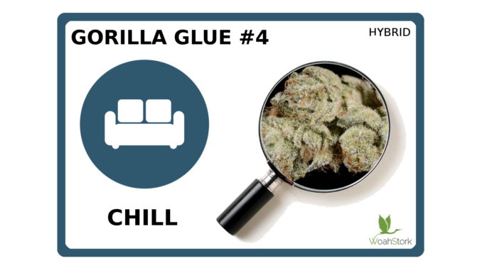 Gorilla Glue #4 strain Guide