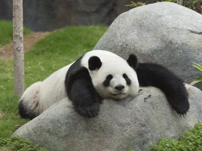 lazy panda cannabis amotivational syndrome