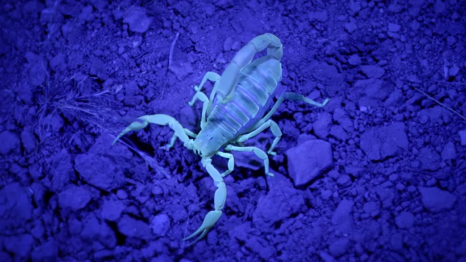 scorpion uv light woah