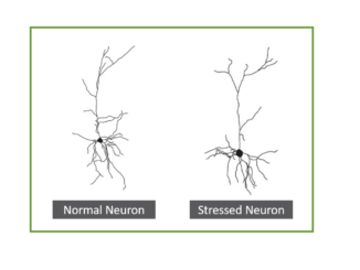 Stress impacts the endocannabinoid system