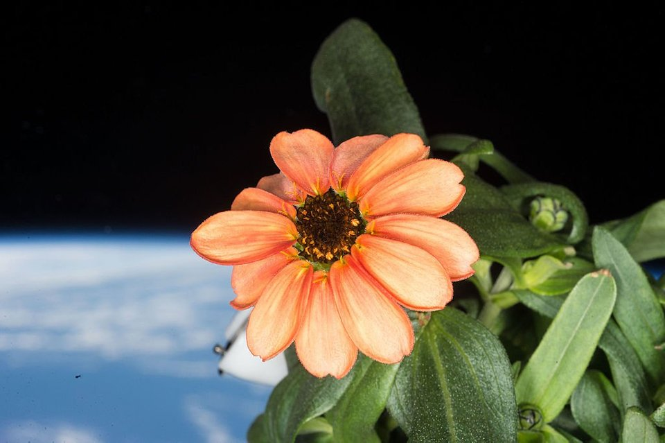 first flower grown in space