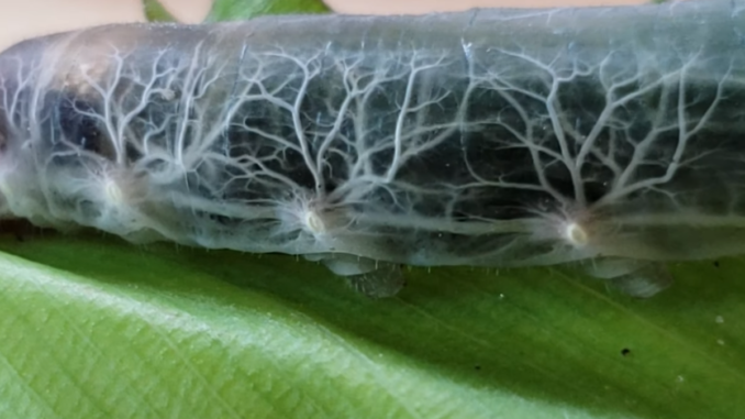 Brazilian Skipper Caterpillar