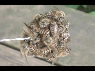 japanese bees cook hornet