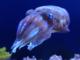 Cuttlefish Woah