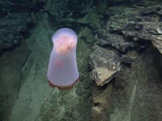 Deepstaria jellyfish