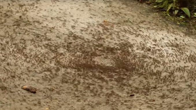ant death spiral