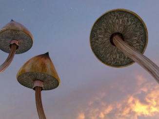 Psilocybe Cubensis: The Mushroom Behind the Magic