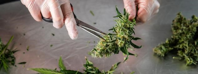 cannabis prepared for a russian salad